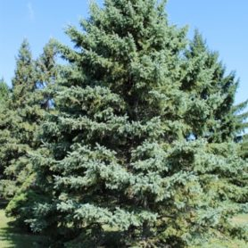 Evergreen Tree Seeds