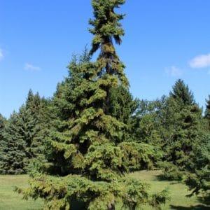 Picea mariana Black Spruce