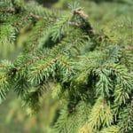 Picea mariana Black Spruce Needles