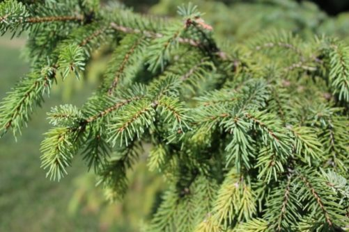 Picea mariana Black Spruce Needles
