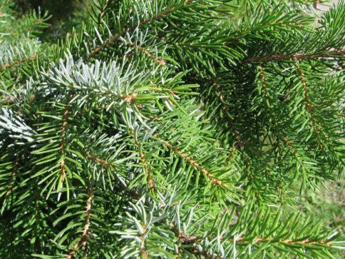 Picea omorika Serbian Spruce Needles