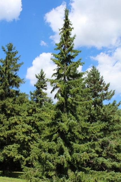 Picea omorika Serbian Spruce