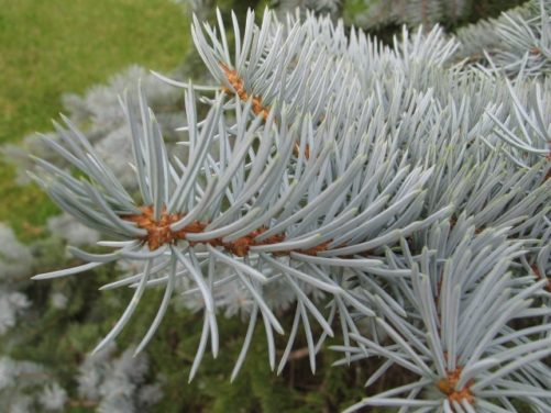 Picea pungens Colorado Blue Spruce Needles