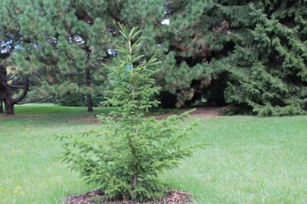 Picea rubens Red Spruce Young Tree