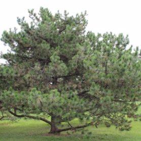 Pinus nigra Austrian Pine