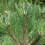 Pinus nigra Austrian Pine Needles