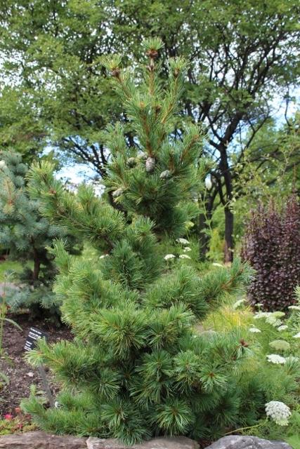 Pinus parviflora Japanese White Pine