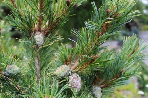 Pinus parviflora Japanese White Pine Needles and Cones