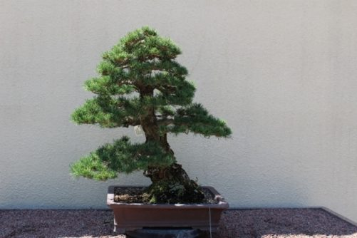 Pinus parviflora Japanese White Pine Bonsai