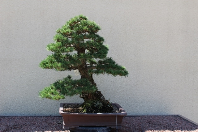 Pinus Parviflora Japanese White Pine Mount Royal Seeds