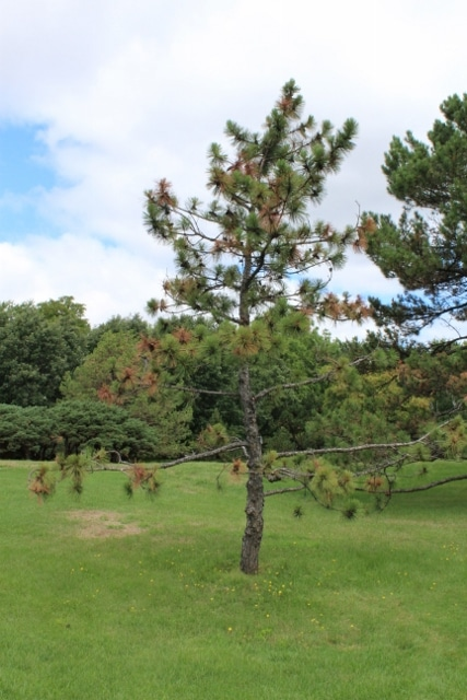 Pinus resinosa Red Pine