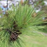 Pinus resinosa Red Pine Needles