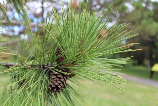 pinus resinosa red pine mount royal seeds