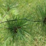 Pinus strobus Eastern White Pine Needles