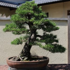 Pinus thunbergii Japanese Black Pine Bonsai