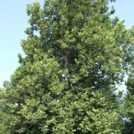 Platanus occidentalis American Sycamore