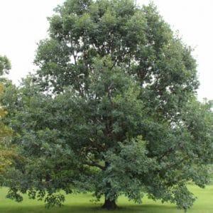 Quercus alba White Oak