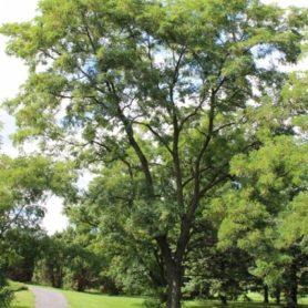 Robinia pseudoacacia Black Locust