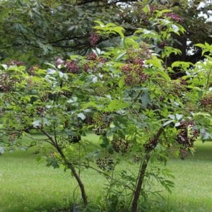 Sambucus canadensis American Black Elderberry