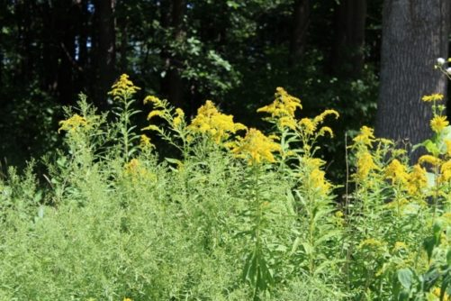 Solidago canadensis (Goldenrod)