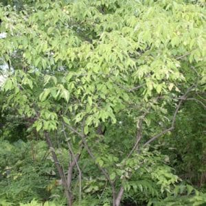 Staphylea trifolia Bladdernut