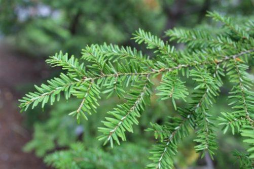 Tsuga canadensis Canadian Hemlock or Eastern Hemlock Foliage