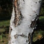 Betula pubescens Downy Birch Trunk