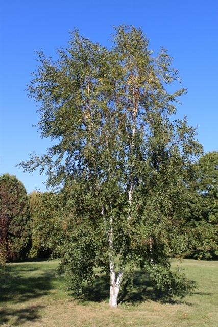 Betula pubescens Downy Birch
