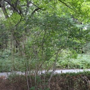 Cornus racemosa Grey Dogwood