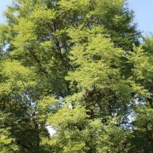 Gymnocladus dioicus Kentucky Coffeetree