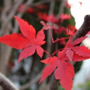 Acer palmatum 'Atropurpureum' (Purple Japanese Maple) Seeds