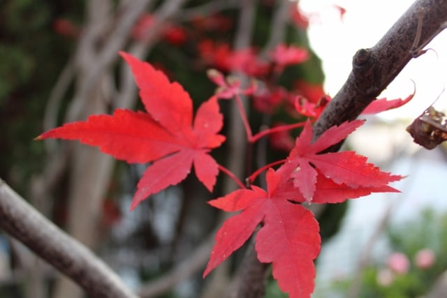 Acer Palmatum Atropurpureum Purple Japanese Maple Mount Royal