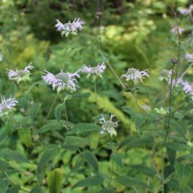 Monarda fistulosa Wild Bergamot or Bee Balm