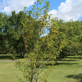 Prunus virginiana Chokecherry Young Tree