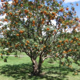Sorbus americana American Mountain Ash