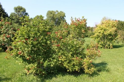 Viburnum trilobum American Cranberrybush