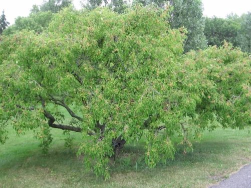 Ornamental tree with vivid magentafruit in late summer, which splits to reveal bright orange seeds.