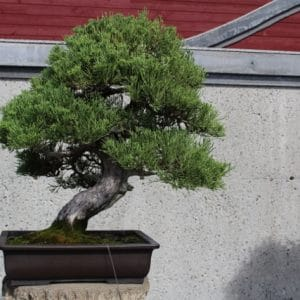 Chinese juniper bonsai on display at the Montreal Botanical Garden