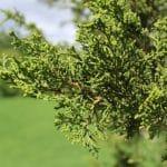 Chinese-juniper-foliage