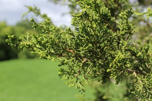 Chinese-juniper-foliage