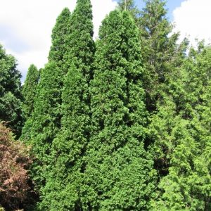 Thuja occidentalis Eastern White Cedar