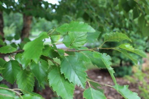 Betula nigra (River Birch) Leaves