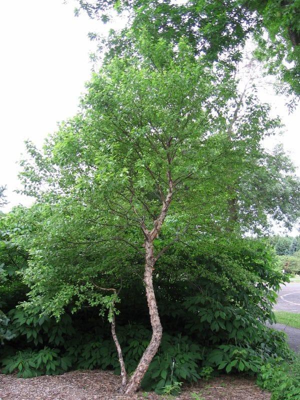 Betula nigra River birch